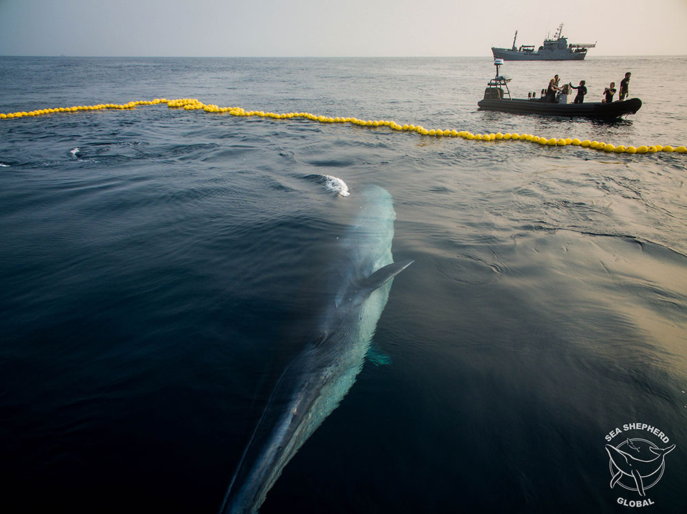 LR SeaShepherd D15 160706 LE Whale caught in Net 0107 art
